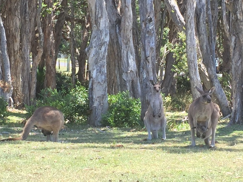 Kangaroos resting in the shade