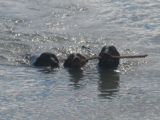 All fetching the same stick!