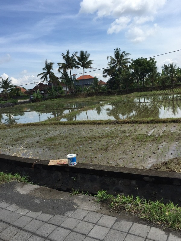 Rice fields by homes