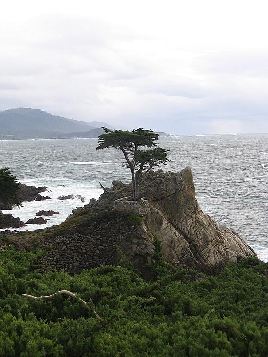 Monterey peninsula trees