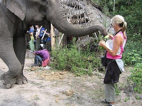 Feeding elephants - they inhale the bananas