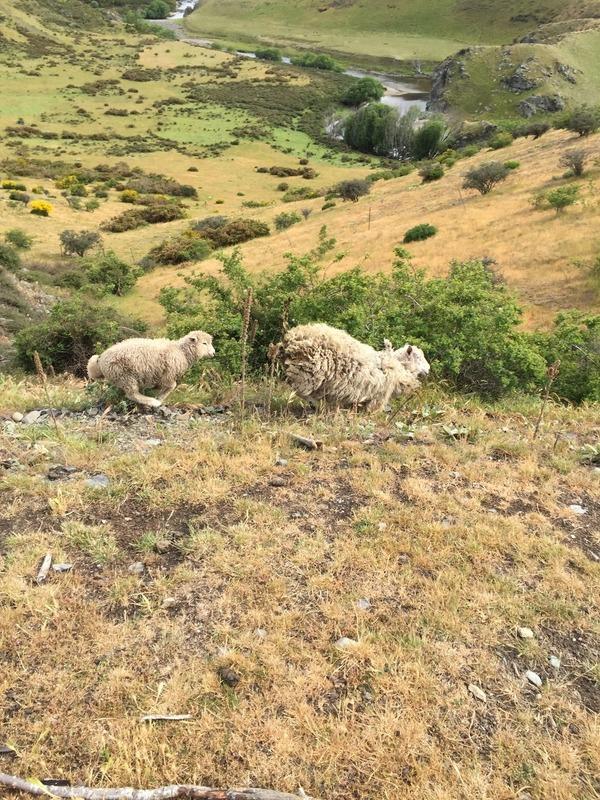 Crazy running sheep