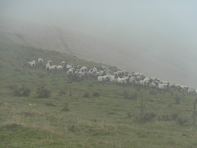 Black faced sheep in the mist