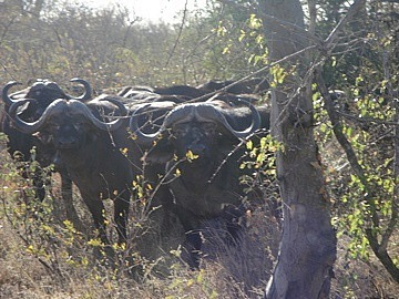 Herd or Obstinacy of Water Buffalo!!