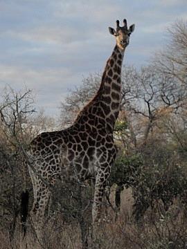 Giraffe with darker markings