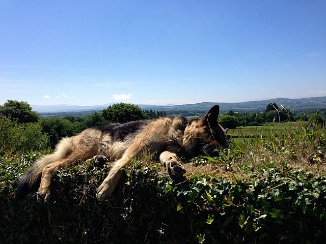 Dog sleeping on the top of a stone wall!