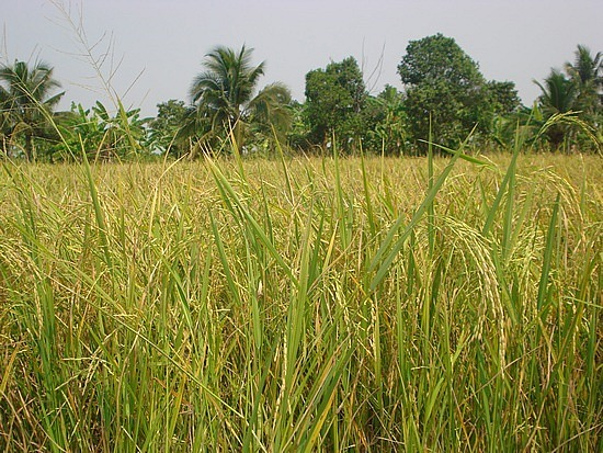 Rice field ready for harvesting