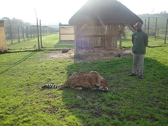 Feeding the cheetah