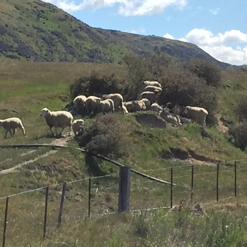 Even the sheep were trying to find shade