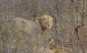 Big Mufasa lion