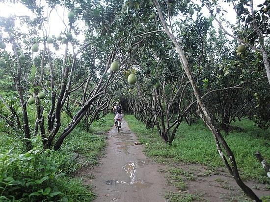 Riding through Pomelo plantation