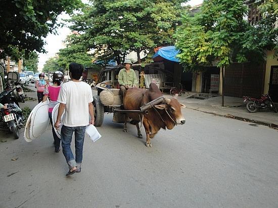 Ox coming down streets of Ninh Binh town