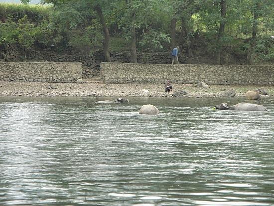 Water buffalo swimming