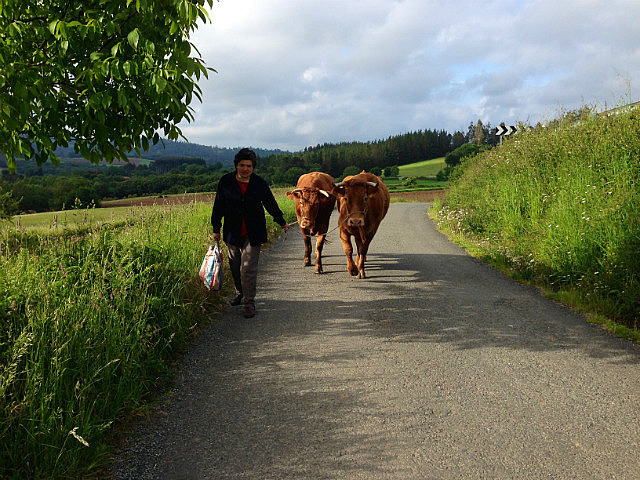 Lady walking her cows