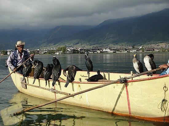 The cormorant boat pulls up