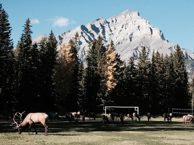 Big bull elk  and herd near the Banff Fairmont