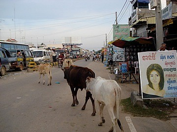Cows wandering the streets