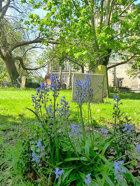 Bluebells and grave stones