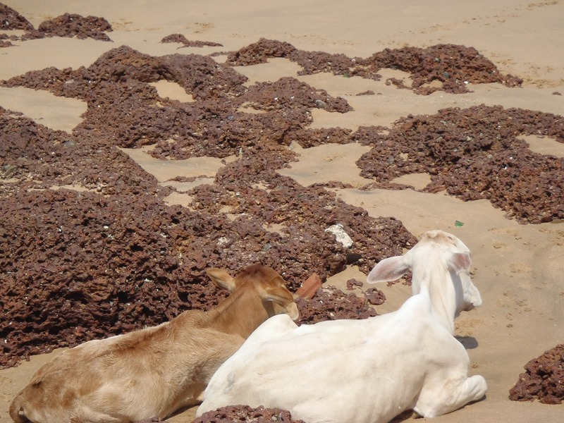 Cows on Goa Beach