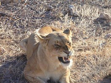Mamma lion finishing a yawn