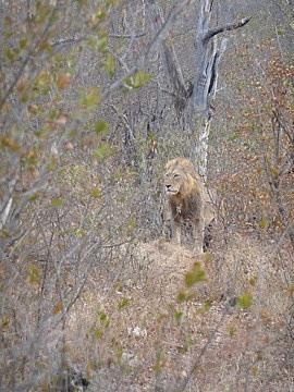 Pride of 3 Females & 8 cubs
