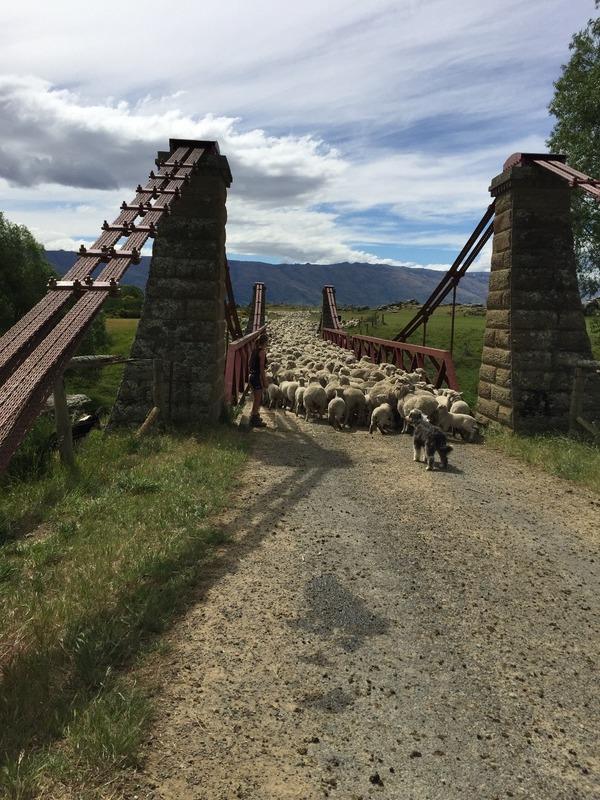 Sheep road block