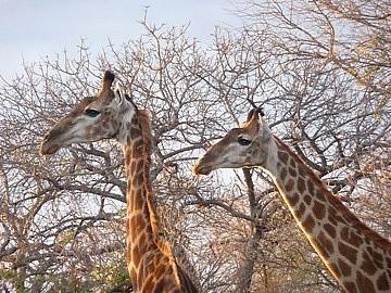 Giraffes again