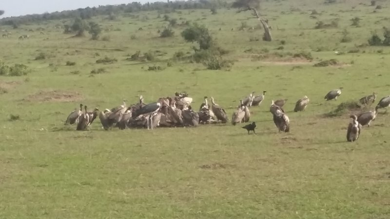 Buzzards and vultures feeding on an eland