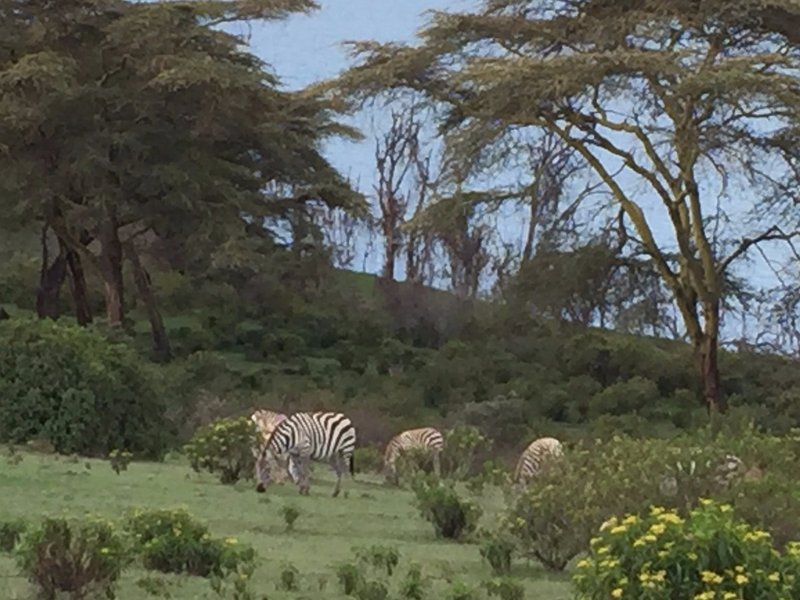 Walking beside the zebras