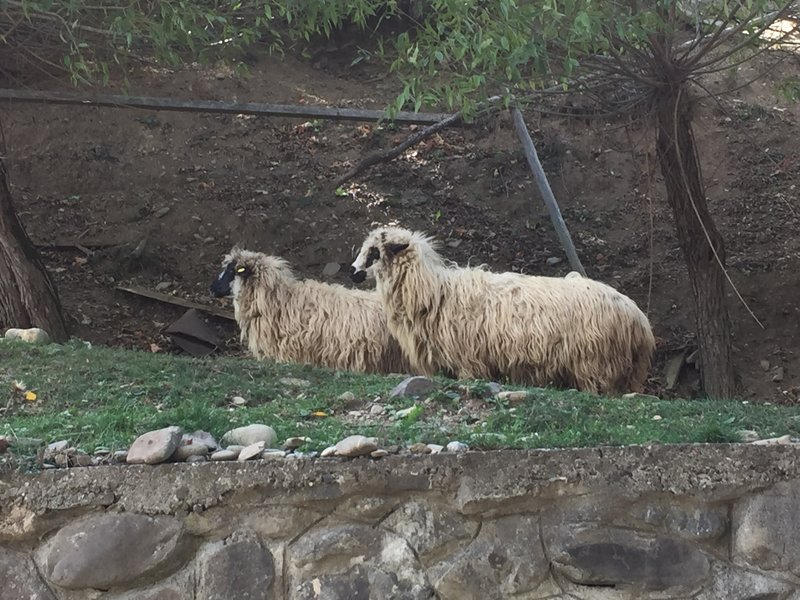 Long haired Romanian sheep