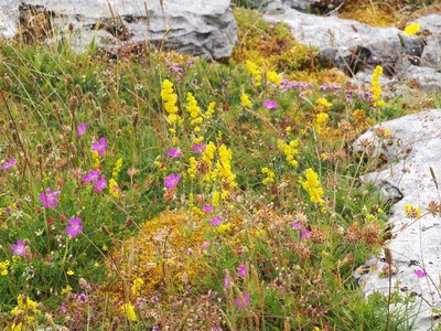 Wild flowers on The Burren