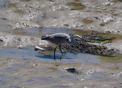 Blue Heron looking for lunch