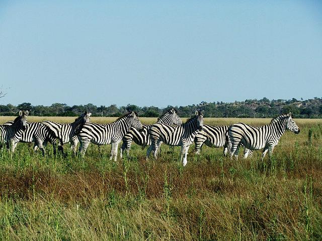Zebra confusion Savuti