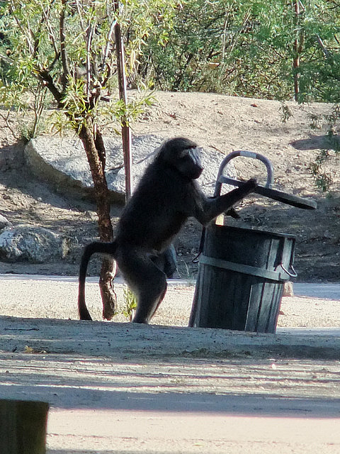 The ever present baboons