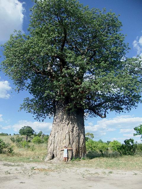 Baobab Savuti