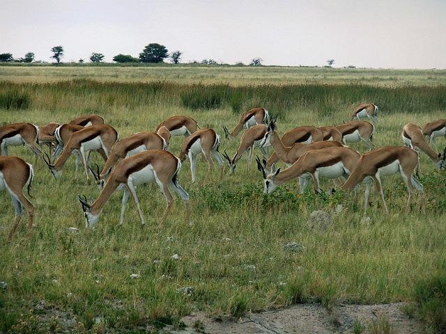 A confusion of Springbok Etosha