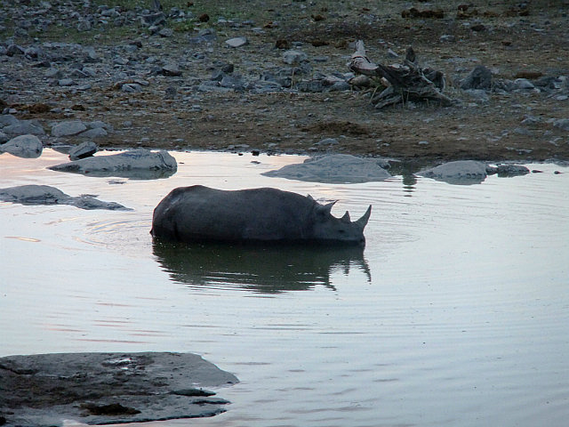 Black Rhino swimming Etosha