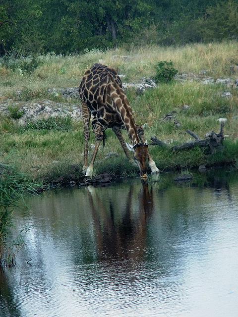 Giraffe drinking Etosha