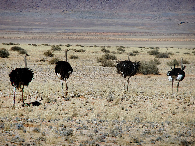Ostriches on the road to Sesriem