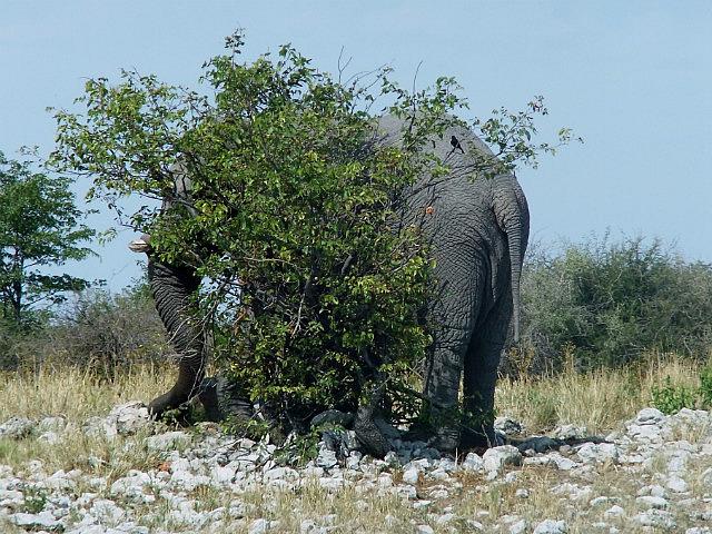 Elephant hiding Etosha