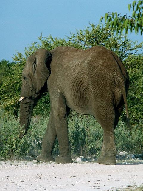 Bull elephant Etosha