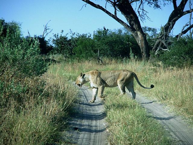 Lioness Savuti