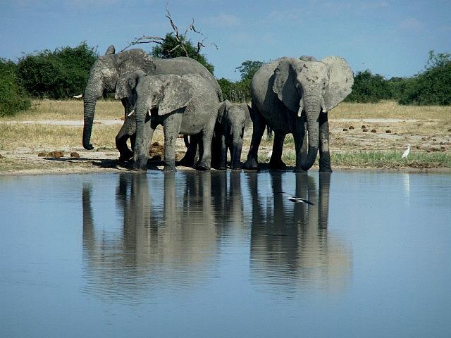 Elephants Savuti