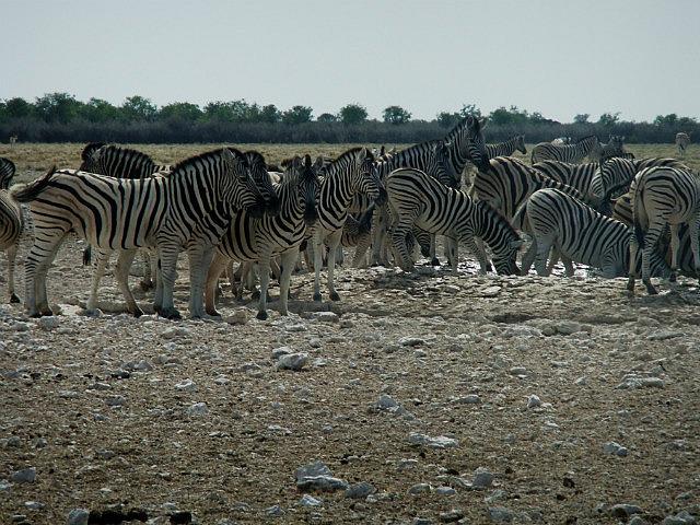 Zebra Chaos Etosha