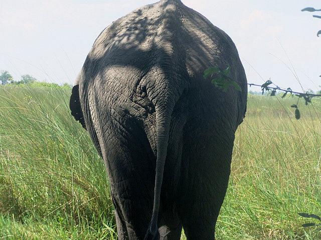Elephant bum for Justin Moreme