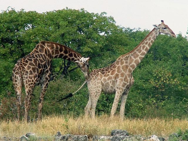 Amorous giraffe Etosha