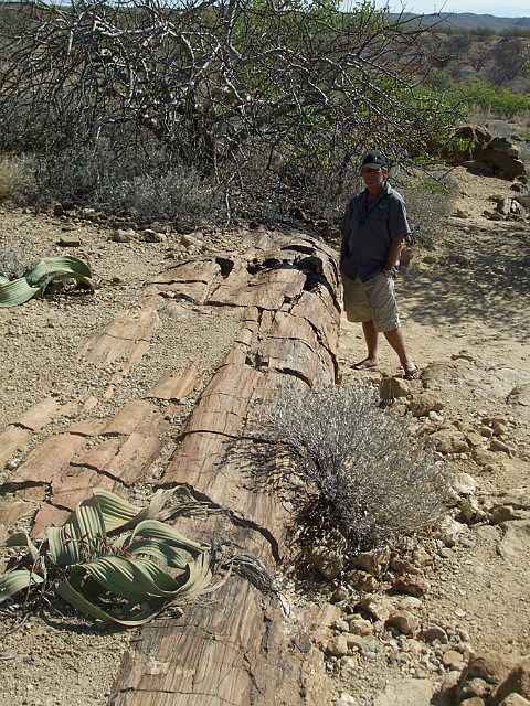 Large Fossilized Tree
