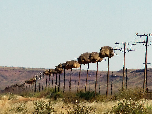 Sociable Weaver nests on the only structure