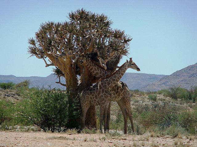 Giraffe looking for shade