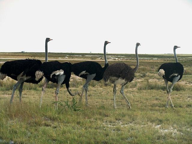 Ostriches Etosha